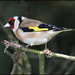 Goldfinch....