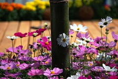 Lovely play (unlimited inspirations) Tags: road morning family pink flowers friends red summer orange plants sun white art nature beautiful beauty yellow garden painting happy design spring colours afternoon dof seasons purple bokeh details bamboo best colourful unforgettable cosmos sunlights hbw hongkongflowershow2009 photographyforrecreation artistoftheyearlevel3