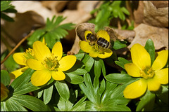 Bee on Winter Aconite
