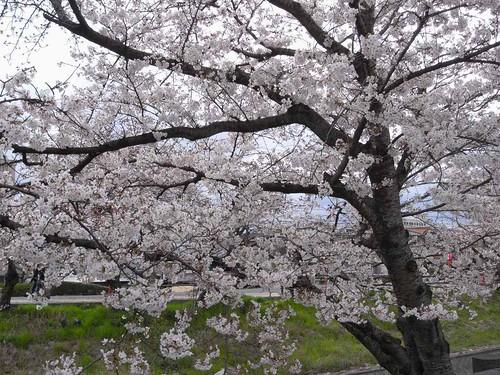 09-04-01【桜】@大和高田-04