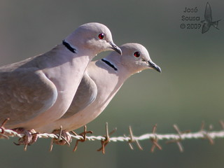 Rola turca - Streptopelia decaocto - Collared Dove (Eurasian Collared-Dove)