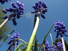 Grape Hyacinth (leafytreeful) Tags: flowers blue flower green purple lexington kentucky perspective arboretum lexingtonky muscari grapehyacinth universityofkentucky ukarboretum