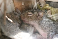 These guys keep annoying each other (Snurks) Tags: squirrel squirrels babysquirrel