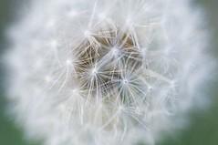 Dandelion-6 (EDBW) Tags: white plant flower macro iso3200 dandelion f45 60mm nikkor 3200 lightroom macrolens d300 12500 wishingflower