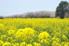 * spring * (*kazuna*) Tags: flower nature spring  cherryblossom sakura      afs1855mmf35f56g