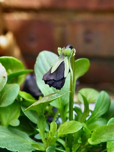 molly sanderson - black viola
