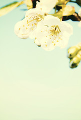 Just enough beauty ; ) (Melanie.Disbrow) Tags: from above blue sky baby white tree vintage cherry blossom down retro hanging melchen83