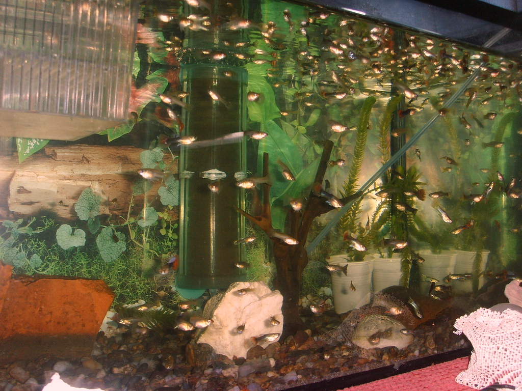guppy fish in 5 gallon tank - Gallon Nano Tank 2017 - Fish Tank Maintenance