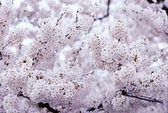 Film de Sakura (Nam2@7676) Tags: film japan analog dof pentax bokeh scan 400 m42  sakura  canoscan 135mm mz3 supertakumar nam2     centuria400 7676  8800f  supertakumar135mmf35  justpentax yasunarinakamura  nam27676