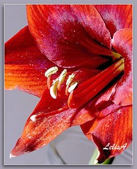 Red As Can Be (LelisA) Tags: lily amaryllis inmygarden fromthearchives naturesfinest redamaryllis anaheimca mywinners abigfave platinumphoto theunforgettablepictures
