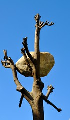 Boulder in a Tree - Art Gallery of New South Wales, Sydney Australia (Ann McLeod Images) Tags: sky tree rock stone dead nikon sydney australia boulder deadtree newsouthwales balance limb agnsw domaine d90 artgalleryofnewsouthwales nikond90 boulderinatree