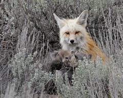 Fox Vixen and Kits - Jackson, WY (Dave Stiles) Tags: fox redfox vulpesvulpes blackfox foxcub foxden jacksonwy foxkit foxpup