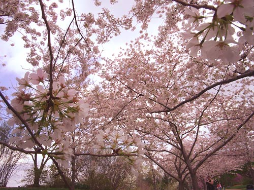 cherry-blossoms-march