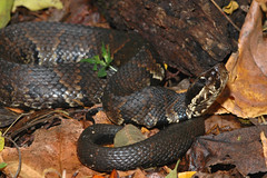 Agkistrodon piscivorus (rdodson76) Tags: wild fall nature animal danger forest one illinois seasons skin reptile snake wildlife ground single scales crawl venomous slither watermoccasin cottonmouth docile trapjaw pitviper agkistrodonpiscivorus
