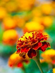 Mexican Marigold  (olvwu | ) Tags: bridge plant flower macro river boat taiwan pedestrian greenlake taipei suspensionbridge asteraceae pedalboat pedestrianbridge tagetes xindian bitan 1260 taipeicounty sindian tageteserecta jungpangwu oliverwu oliverjpwu xindianriver mexicanmarigold olvwu sindianriver sindiancity jungpang