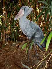 Schuhschnabel / Shoebill (Balaeniceps rex) (Sexecutioner) Tags: portrait bird nature birds animal animals digital canon germany zoo colorful hessen frankfurt wildlife natur afrika rex vgel 2009 vogel shoebill frankfurter schuhschnabel frankfurterzoo abumarkub ciconiiformes shoebillstork zoofrankfurt balaenicepsrex balaeniceps balaenicipitidae  whaleheadedstork shoebilledstork becensabot picozapato trzewikodzib becensabotdunil trskonbb bogbird thewonderfulworldofbirds copyrightsexecutioner beccoascarpa balnicepsroi trskonb schoenbekooievaar kenknokka lunozobecafrick clunozobecafrick  treskonebb lnozobeckrlovsk cevljekljun pabugaga papugagal batasnapis kingnokk