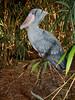 Schuhschnabel / Shoebill (Balaeniceps rex) (Sexecutioner) Tags: portrait bird nature birds animal animals digital canon germany zoo colorful hessen frankfurt wildlife natur afrika rex vögel 2009 vogel shoebill frankfurter schuhschnabel frankfurterzoo abumarkub ciconiiformes shoebillstork zoofrankfurt balaenicepsrex balaeniceps balaenicipitidae ハシビロコウ whaleheadedstork shoebilledstork becensabot picozapato trzewikodziób becensabotdunil träskonäbb bogbird thewonderfulworldofbirds ©copyrightsexecutioner beccoascarpa balénicepsroi træskonæb schoenbekooievaar kenkänokka člunozobecafrický clunozobecafrický китоглав treskonebb člnozobeckrálovský cevljekljun pabuçgaga papuçgagalı batasnapis kingnokk