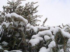 Upon Looking Up - Lots of Ice on Pine Tree Top (Crystal Writer) Tags: pictures original winter sky snow cold tree ice pine creativity frozen image crystal pics kentucky ky unique creative picture freezing pic images christian creation icestorm louisville writer write create capture 2009 icicles louisvilleky writes louisvillekentucky 10millionphotos crystalwriter kentuckyicestorm 2009icestorm