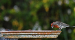 Lone House Finch (Josh LeClair) Tags: red bird riverside birdfeeder finch housefinch inlandempire commonfinch
