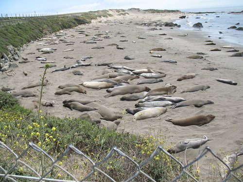Elephant Seals at Piedras Blancas (12)