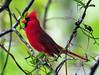 Pretty Red Dress...Male Cardinal (ozoni11) Tags: bird nature birds animal animals interestingness nikon cardinal bokeh explore ornithology 274 cardinals columbiamaryland d300 passerine interestingness274 i500 explore274 michaeloberman ozoni11
