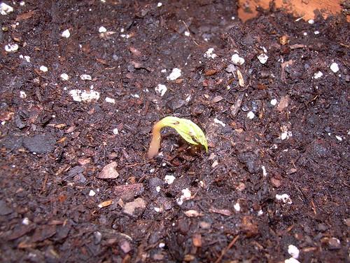 cilantro sprout