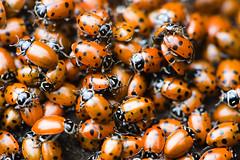 Ladybugs in the Wild, 4 (Thomas Hawk) Tags: california usa america insect oakland unitedstates fav50 10 unitedstatesofamerica beetle fav20 ladybird ladybug eastbay fav30 orgy marienkfer fav10 fav25 fav40 superfave