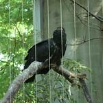 King Vulture thumbnail