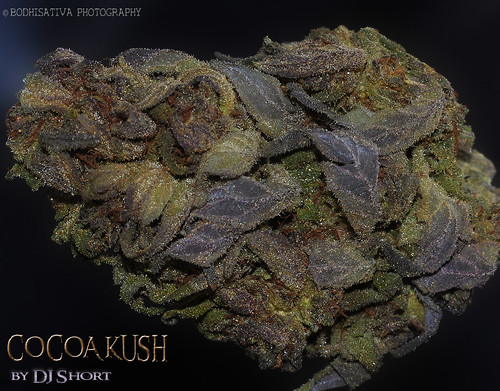 DJ Shorts  Cocoa Kush - Legends Seeds