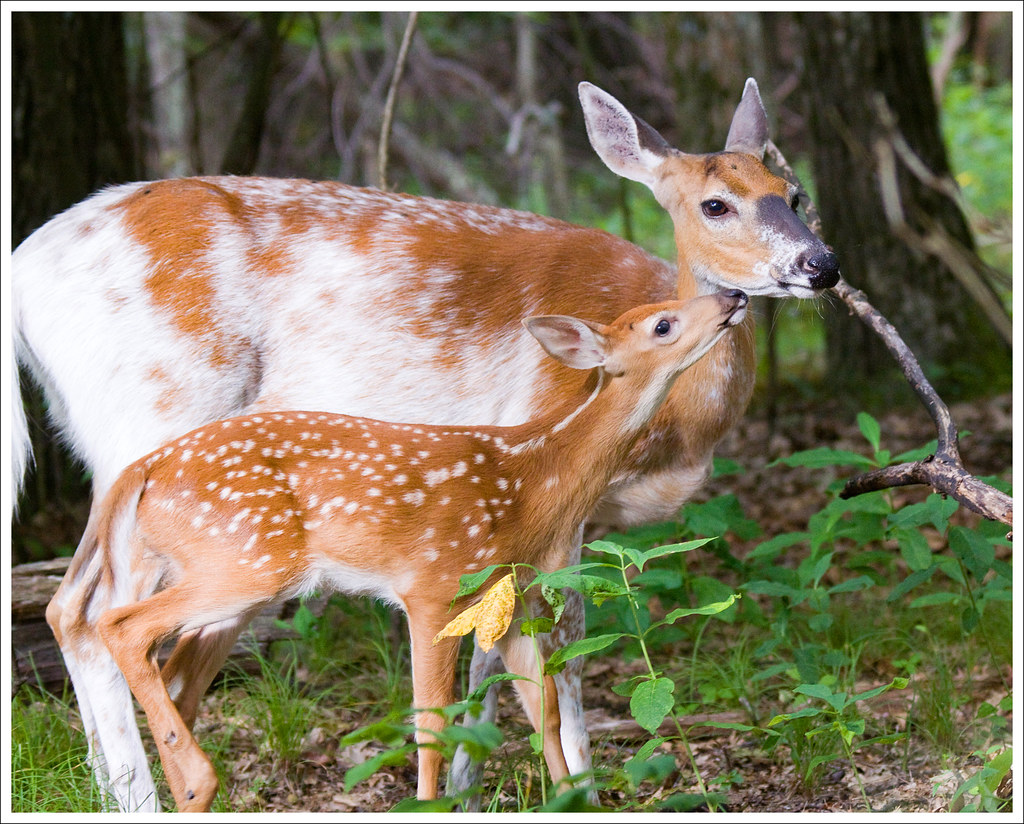 Dottie and Her Fawn - Shenandoah National Park