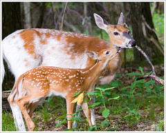 Dottie and Her Fawn - Shenandoah National Park ([Christine]) Tags: virginia deer fawn piebald dottie skylinedrive shenandoahnationalpark whitetaildeer snp skylandresort