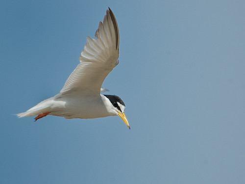 Jonathan Livingston Tern
