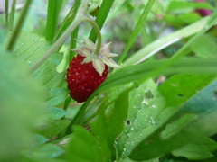 Fragolina (susy ) Tags: red italy plants flower macro verde green nature strawberry italia natura fiore rosso fragola pianta mywinners auronzodicadore