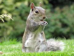 IMG_3303 - Squirrel (psc631798uk's Trans-tography) Tags: nature beautiful grass squirrel eating wildlife lawn sat nut 2009 coth supershot topshots sooc specanimal flickraward platinumheartaward natureselegantshots silvertail flickrlovers 100commentgroup panoramafotogrfico lovely~lovelyphoto flickrunitedaward