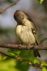 Roitelet à couronne rubis / Ruby-crowned Kinglet (Eric Bégin) Tags: bird nature bigma wildlife olympus ornithology oiseau rubycrownedkinglet kinglet ornithologie sigma50500mm roitelet e520 ericbegin roiteletàcouronnerubis