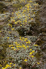 Sedum spathulifolium (Eric Hunt.) Tags: california blue flower yellow succulent crassulaceae sedum pinnaclesnationalmonument stonecrop sedumspathulifolium glaucous broadleafstonecrop inpicasa