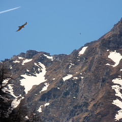 Vultures can fly up to 10,000 m high, but planes a bit higher (Bn) Tags: park blue shadow sky sun snow mountains alps bird nature water walking airplane geotagged heidi austria golden waterfall spring high woods topf50 rocks king eagle hiking wildlife altitude falls adventure evergreen alpine national valley goldenvalley vulture airlines spar higher spruce larvae finest seekers steep birdofprey marmots hohe highest rauris gier lariks unspoilt tauern 50faves krumltal rauristal bartgeier lammergeier beardedvulture gypaetusbarbatus lammergier reintroduced kruml kingofthealps dastaldergeier taldergeier valleyofvultures schaflegerkopf 2788m thekingsoftheair baardgier max10000meterhigh geo:lon=12923804 geo:lat=47103767