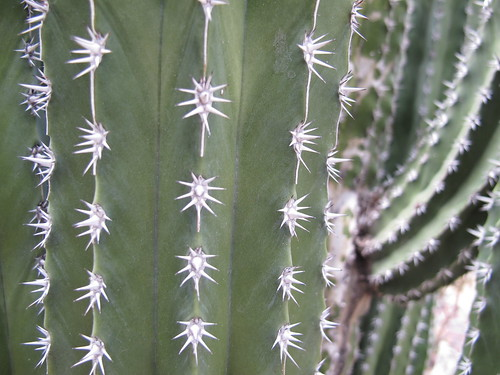 pachycereus pecten-aboriginum 2