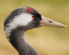 European Crane (earlyalan90 away awhile) Tags: best 1001nights bestofthebest supershot abigfave platinumphoto anawesomeshot goldstaraward mindigtopponalwaysontop