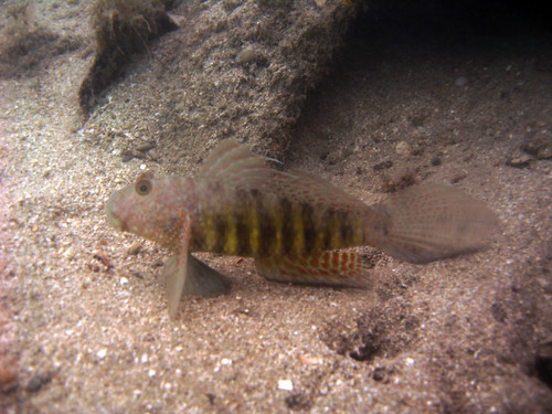 Reef goby