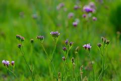 Wildflowers (pixelsnob) Tags: california flowers nikon wildflowers nikkor 105mmf28dmicro d40