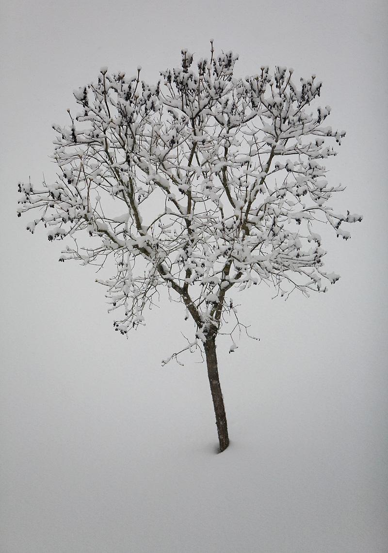 Snötäckt träd
