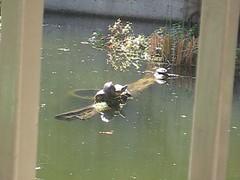 Turtles! (debbipete) Tags: fall climb pond log turtle pile plop