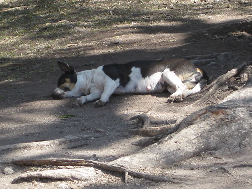 Chichen Itza siesta dog