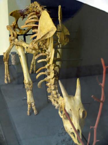 Myotragus balearicus