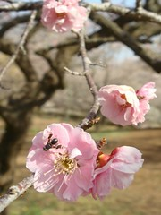 DSC07883.JPG (chinitanglatina) Tags: flowers nature japan spring ome ume yoshino plumblossoms umematsuri