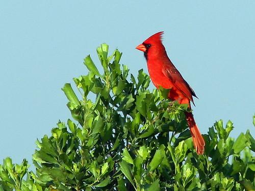 Northern Cardinal 2-20090402