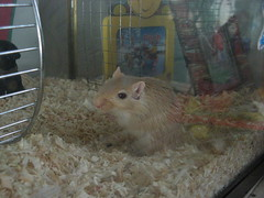 what you looking at!? (dbgg1979) Tags: pets gerbil stewie