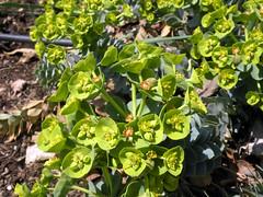 Donkey Spurge (leafytreeful) Tags: flowers plant flower green yellow lexington kentucky arboretum lexingtonky universityofkentucky myrtlespurge euphorbiamyrsinites ukarboretum