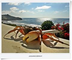DSC00210_PERRO MARINO (EL CAN_GREJO) (JESSENIA VLEZ BONILLAPHOTOGRAPHY) Tags: mar ecuador rboles playa manta cangrejo veranera sudamrica manab crustceo santamarianita puntalabarca